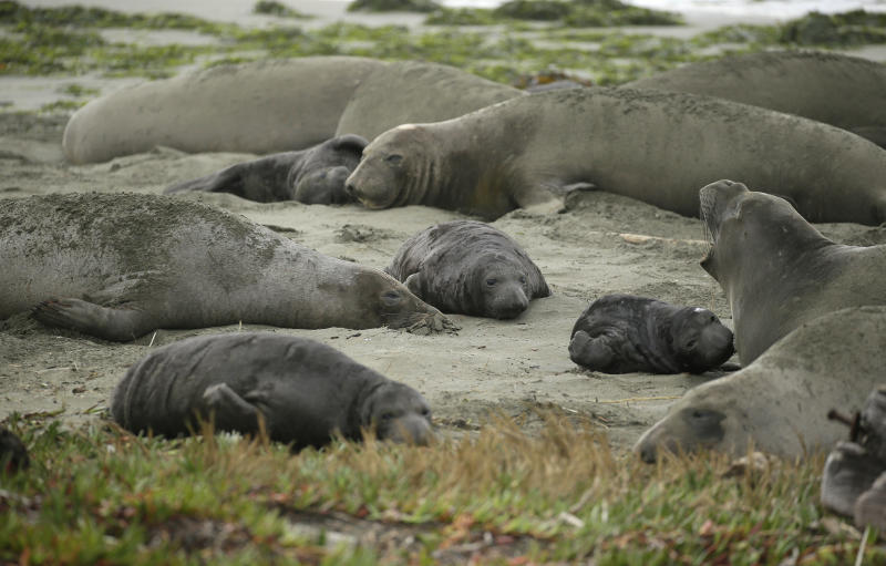 Elephant seals and their pups occupy Drakes Beach, Friday, Feb. 1, 2019, in Point Reyes National Seashore, Calif. Tourists unable to visit a popular beach in Northern California that was taken over by a colony of nursing elephant seals during the government shutdown will be able to get an up-close view of the creatures, officials said Friday. Rangers and volunteer docents will lead small groups of visitors starting Saturday to the edge of a parking lot so they can safely see the elephant seals and their newborn pups, said park spokesman John Dell'Osso. (AP Photo/Eric Risberg)