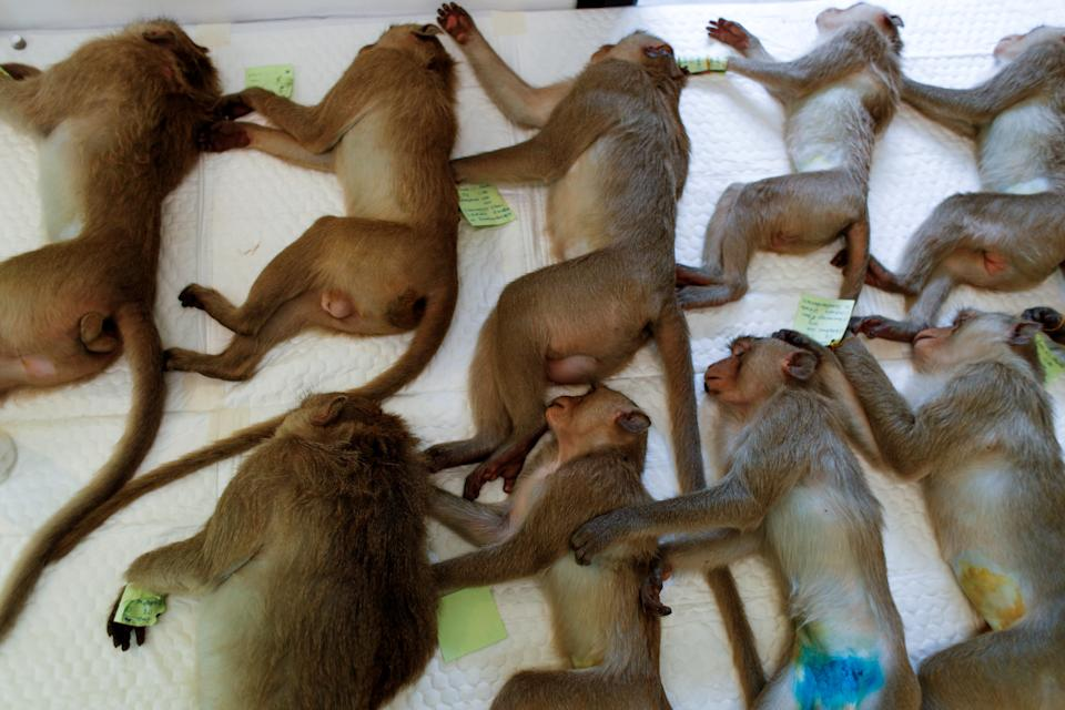 Monkeys are sedated as they recover after a sterilization procedure carried out by the Department of National Parks due to the increase of the macaques population in the urban area and the tourist spots of the city of Lopburi, in Thailand June 22, 2020. Picture taken June 22, 2020. REUTERS/Jorge Silva