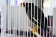 Juji, a rescued yellow-beaked mynah carried into the United Arab Emirates by a fleeing Afghan refugee, sits in a cage at the French ambassador's home in Abu Dhabi, United Arab Emirates, Sunday, Oct. 10, 2021 The small bird rescued from Kabul by French Ambassador to the UAE, Xavier Chatel, during France's frantic evacuations has touched a global nerve, providing an uplifting counterpoint to the crises afflicting Afghanistan amid the Taliban takeover (AP Photo/Jon Gambrell)