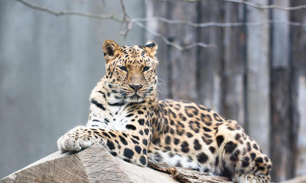 <p>This leopard lives in the far east of Russia in the area's temperate forests. Only around 60 remain in the wild. (Photo: WWF) </p>