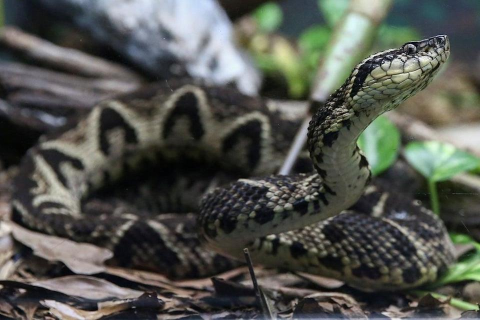 First steps have been taken by scientists to use snake venom to fight Covid  (REUTERS)