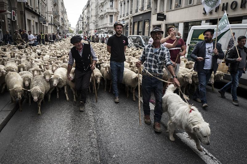 French farmers took to the streets of Lyon with hundreds of sheep on Monday, demanding government action to combat wolf attacks (AFP Photo/JEAN-PHILIPPE KSIAZEK)
