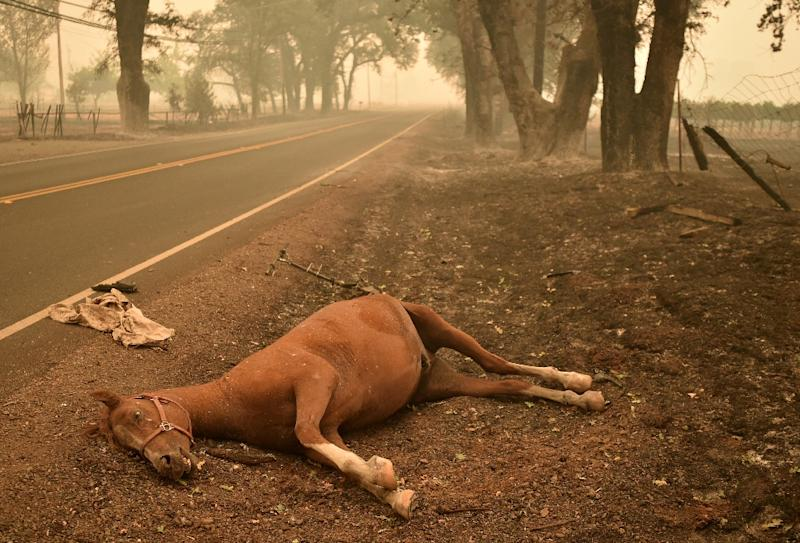 A dead horse lies on the side of a road while firefighters continue to battle the Valley fire in Middletown, California on September 13, 2015 (AFP Photo/Josh Edelson)