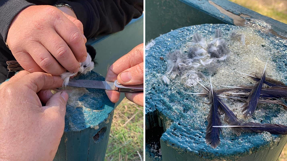 Split screen. Left - close up of hands and a knife as the ranger tries to remove the kingfisher. Right - feathers on the post after the kingfishers were removed.