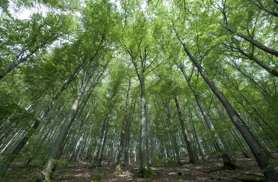 Beech trees are pictured in Bilstein, Germany, Tuesday, July 27, 2021. (Photo/Michael Sohn)