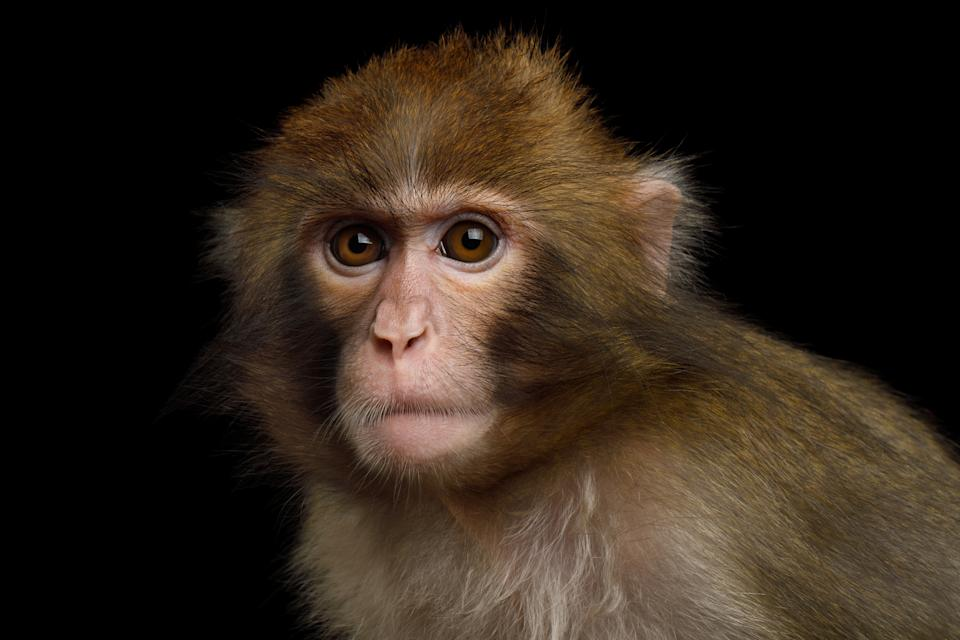 Portriat of Japanese macaque Isolated on Black Background