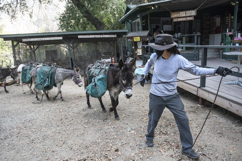 Henry Lomas leads a pack of donkeys at Adam's Pack Station back to their barn.