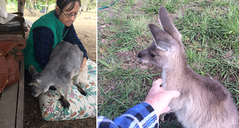 Lyn Gythner (left) holds a kangaroo in her arms, and (right) reaches out to a young joey on grass.