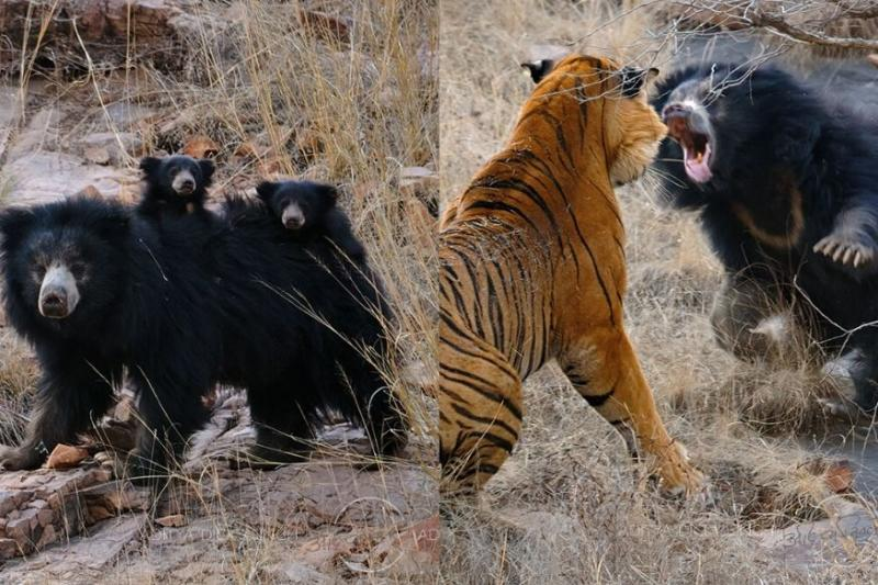 This Confrontation Between Mother Bear and Tigers in Ranthambore Teaches us All a Lesson