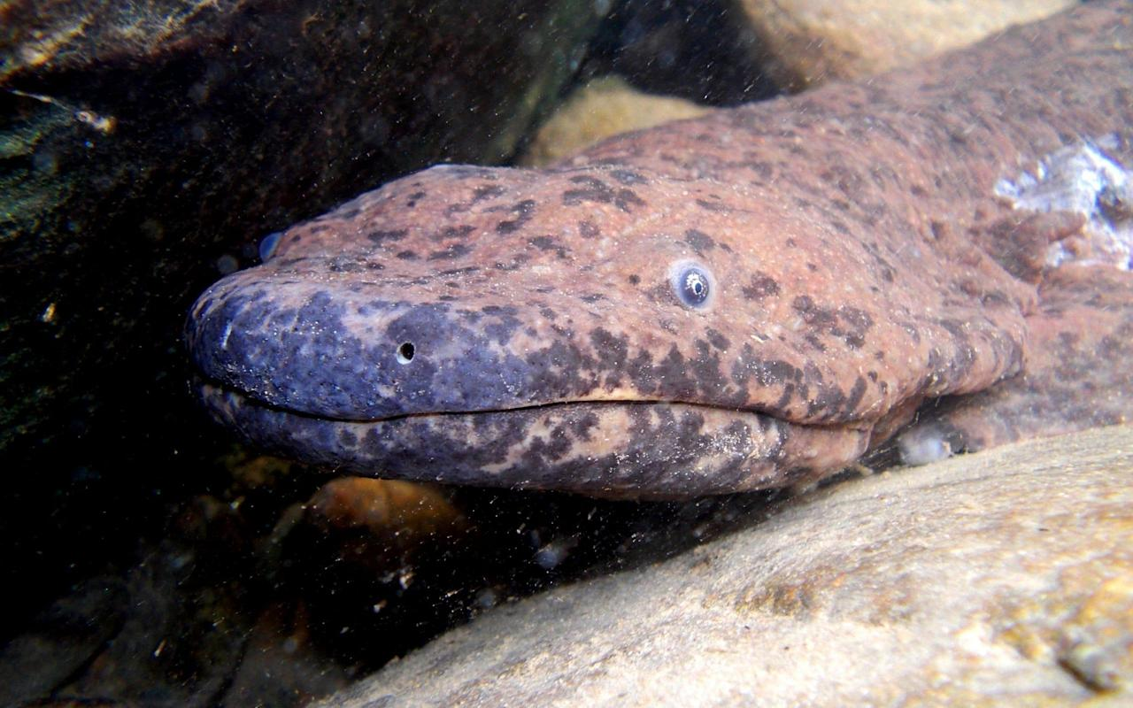 London Zoo discovers largest amphibian in the world, which they unknowingly exhibited for 20 years