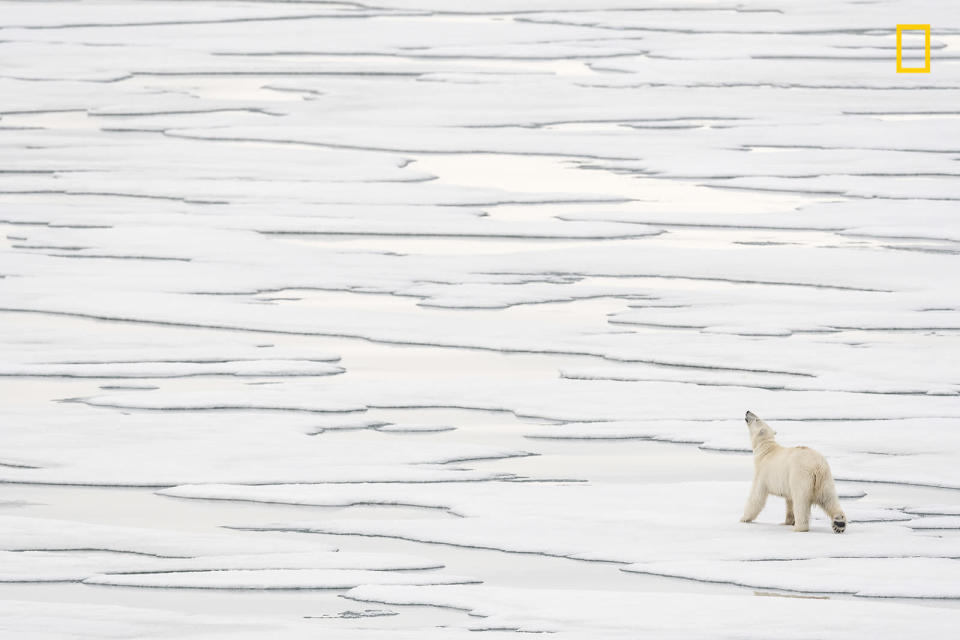<p>A polar bear sniffs the air trying to sent seals on Svalbard, Norway. (Daisy Gilardini/National Geographic Nature Photographer of the Year contest) </p>