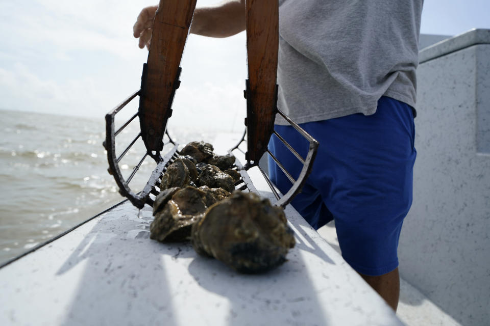Mitch Jurisich checks on oysters from his oyster beds in the aftermath of Hurricane Ida in Plaquemines Parish, La., Monday, Sept. 13, 2021. Ida's heavy rains caused freshwater and sediment to flood coastal estuaries, killing the shellfish, Jurisich said. (AP Photo/Gerald Herbert)