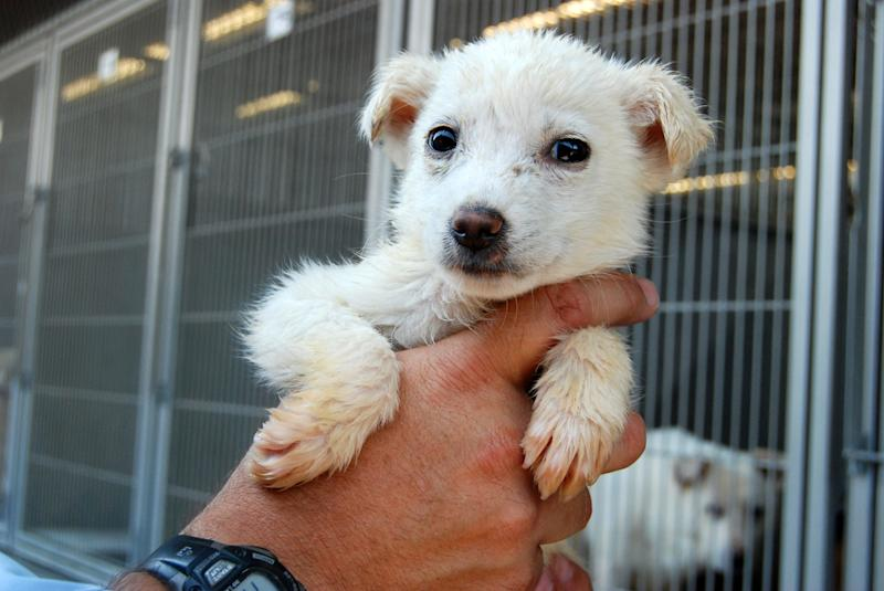 This image provided by the San Bernardino County Animal Shelter in San Bernardino, Calif., shows a dog held by Supervising Animal Control Officer Doug Smith at the shelter on Friday, July 5, 2013. The animal was one of more than 130 dogs seized from a hoarder two weeks ago. The animals had been living in one large pack for years without proper food, medical care or human interaction, officials said. They can only be released to rescue groups because of the costly and extensive medical care and behavior work they need. (AP Photo/San Bernardino County Animal Shelter, C.L. Lopez)