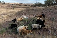 <p>Farmers are struggling to battle the drought as streams dry up and they struggle to keep livestock fed and watered [Photo: Getty/Brook Mitchell] </p>