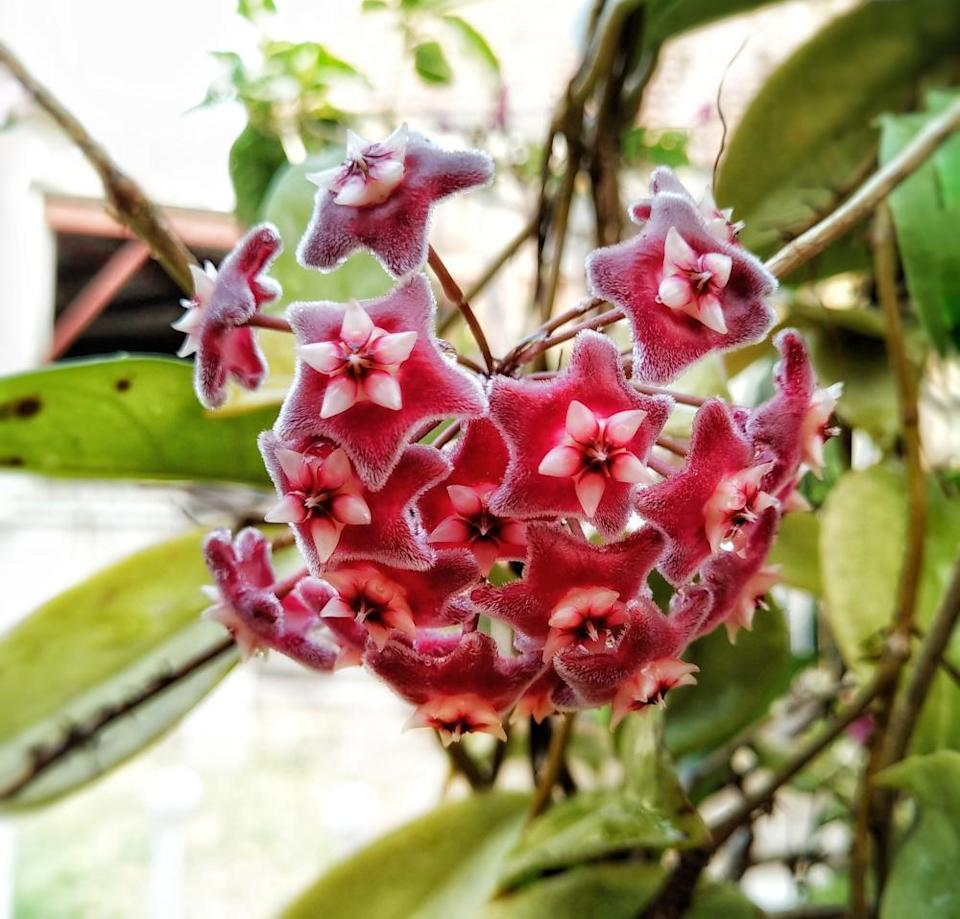 Hoya pubicalyx 'Red buttons'