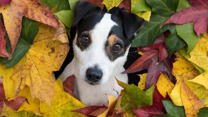 Russell Terrier (sumber: Pixabay)
