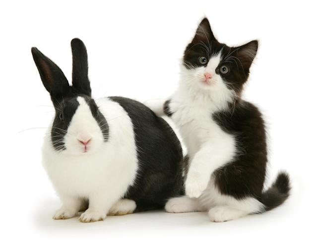<p>Black Dutch rabbit with black-and-white kitten Felix. (Photo: Warren photographic/Caters News) </p>