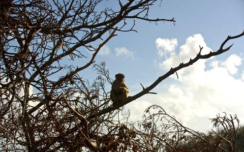 A monkey rests on a tree branch on Cayo Santiago - Credit: Ramon Espinosa AP