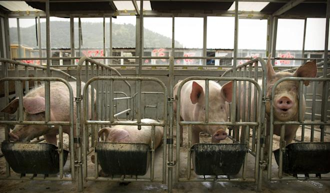 Swine fever is deadly to pigs. Photo: AP