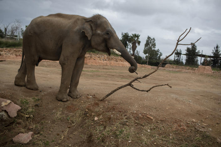 An elephant breaks off a twig with it's trunk in the Attica Zoological Park in Spata, near Athens, on Tuesday, Jan. 26, 2021. After almost three months of closure due to COVID-19, Greece's only zoo could be approaching extinction: With no paying visitors or state aid big enough for its very particular needs, it still faces huge bills to keep 2,000 animals fed and healthy. (AP Photo/Petros Giannakouris)
