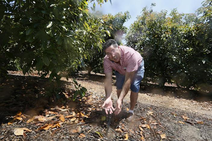 In this photo taken Monday, June 3, 2013, farmer David Schwabauer, a partner/manager of Leavens Ranches, fourth-generation avocado and lemon grower checks an irrigation sprinkler in Moorpark, Calif. The Schwabauer family has been considering allowing energy companies to drill new exploratory wells in their orchards in Moorpark, but the trees in Moorpark rely on irrigation supplies drawn from a depleted aquifer, and the county is already in drought. Drilling for oil, especially using hydraulic fracturing techniques, requires a lot of water as well, so the family has been divided on whether to go ahead with the offer. (AP Photo/Damian Dovarganes)