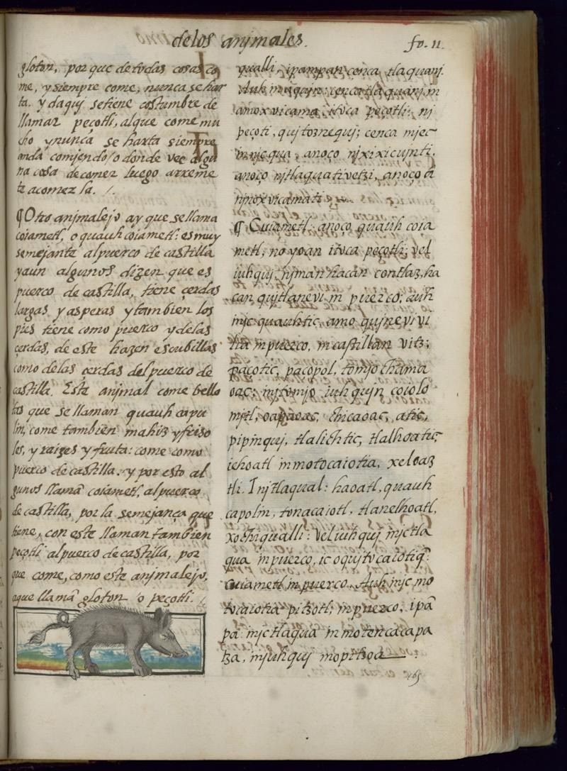A page from the Florentine Codex features a rather buoyant painting of a peccary