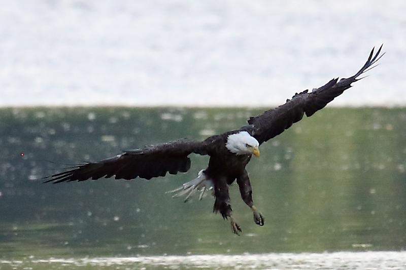The Endangered Species Act is credited with saving dozens of key species from extinction including bald eagles