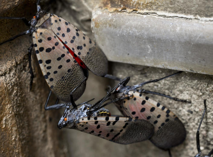 Spotted lanternflies on the side of the Berks County Services Building in Reading, Pennsylvania, September 28, 2020. / Credit: Ben Hasty/MediaNews Group/Reading Eagle via Getty Images