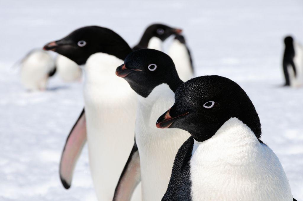 Happier Feet: Antarctica Home to Millions More Penguins Than Thought