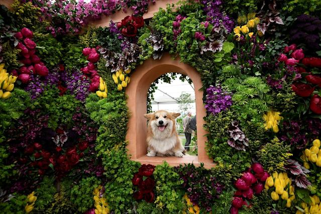 "<p>Marcel ""Le Corgi"" perches his paws on a display at the Royal Horticultural Society's Chelsea Flower show in London, Britain, May 22, 2017. (Photo: Dylan Martinez/Reuters) </p>"