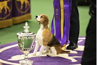<p>This little beagle—named Miss P—is the definition of a good girl, don't you think?</p>