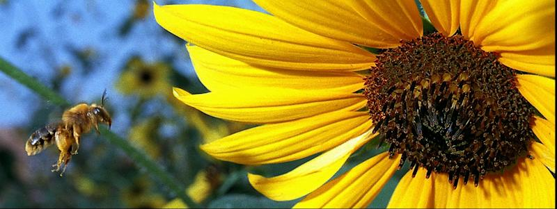 FILE - In this Sept. 1, 1996 file photo, a honey bee eyes its target, a common sunflower, in Sertoma Park in  Sioux Falls, S.D. South Dakota farmers can boast for the first time in recorded history that they are the nation's top sunflower growers. Wet weather and flooding in North Dakota led to a drop of hundreds of thousands of planted acres, and production fell 39 percent to 766 million pounds. Farmers in South Dakota's prime sunflower region did not have similar production problems and that state produced 777 million pounds of sunflowers, about the same as in 2010.   (AP Photo/Argus Leader, Lew Sherman, File)