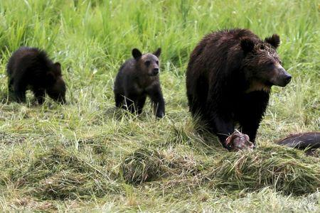 FILE PHOTO:  A grizzly bear and her two cubs approach the carcass of a bison in Yellowstone National Park in Wyoming