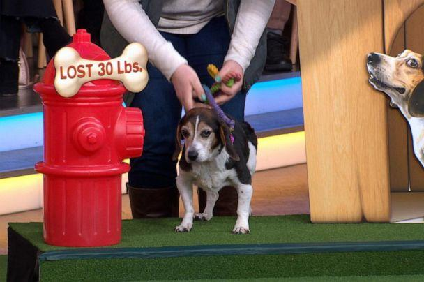 PHOTO: Pearl, a dog who lost 30 pounds, appears on 'Good Morning America' on Friday, Jan. 10, 2019. (ABC)