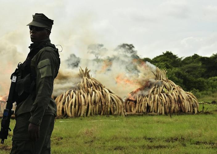 A ranger stands in front of burning ivory stacks at the Nairobi National Park on April 30, 2016 (AFP Photo/Carl De Souza)
