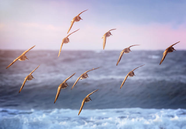 Beautiful soft pastel colors at sunrise with Dunlin flying in against the waves at Jones Beach, Long Island in Winter.