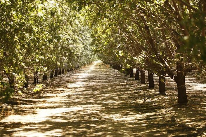 MARICOPA, CA - JULY 17, 2019 Almond orchards at Maricopa Orchards known for almonds and citrus at the southern end of the San Joaquin Valley in Kern County which is in the process of converting acres of farmland to solar farms. A new report from the Nature Conservancy makes the case that most of the solar California will need to meet its clean energy targets should be built on agricultural land, due to the environmental sensitivity of other types of land. Building solar on farmlands could also help Central Valley farmers comply with coming restrictions on groundwater extraction. (Al Seib / Los Angeles Times)