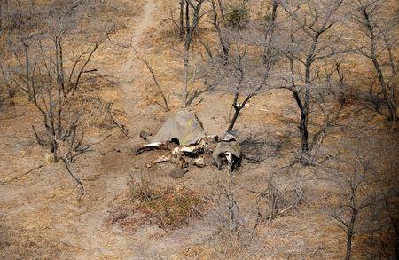 FILE PHOTO: An aerial photograph shows the carcass of an elephant, after reports that conservationists have discovered 87 of them slaughtered just in the last few months, in the Mababe area, Botswana, September 19, 2018. REUTERS/Siphiwe Sibeko/File Photo