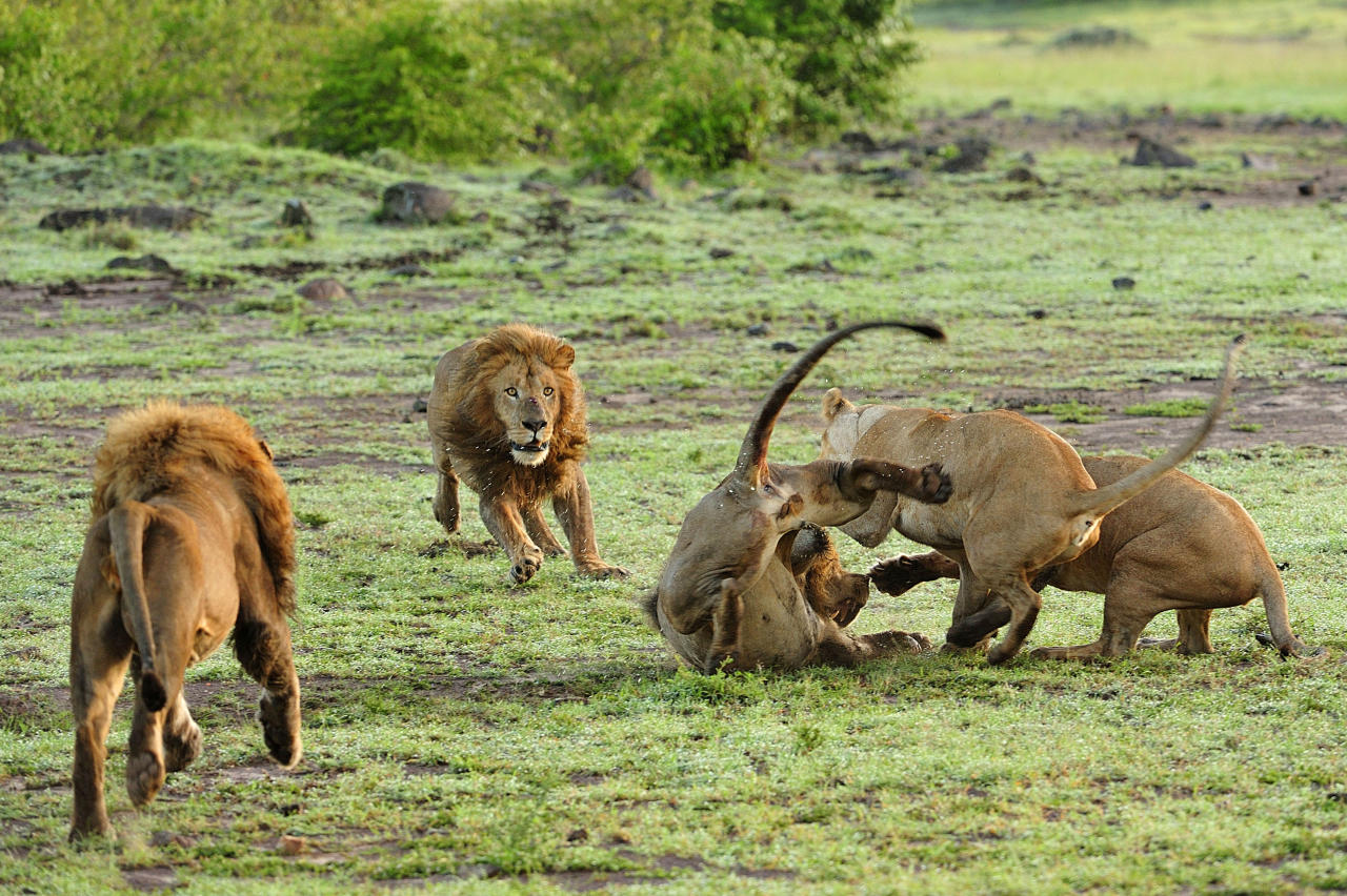 PIC FROM GUZELIAN / CATERS NEWS  - (PICTURED The lioness fight back and attack the lion) Now thats what you call a cat fight! - These protective lionesses refuse to take it LION down when a male approaches their cubs, and all hell breaks loose among the pride. The cat fight is a bitter battle between the male and female beasts, who savagely erupt into a ferocious battle in the Mara Triangle, within the heart of the Masai Mara in Kenya, Africa. - SEE CATERS COPY **NOT FOR SALE / USE IN THE UK**