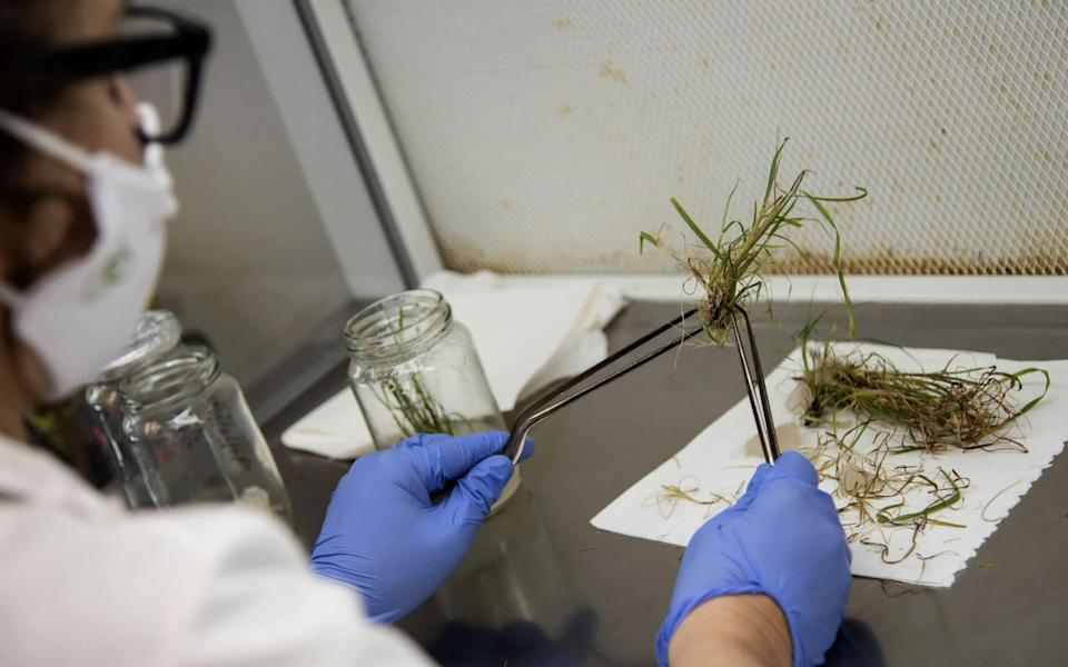 A scientist studies genetically modified plants in a lab at the Bioceres agricultural biotechnology company in Rosario, Santa Fe Province, Argentina - MARCELO MANERA / AFP