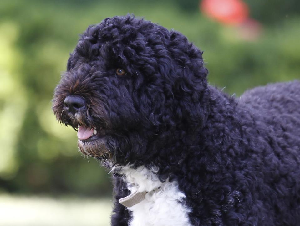 FILE - In this June 13, 2011, file photo Bo, a Portuguese water dog and the family pet of President Barack Obama, is seen in the Rose Garden of the White House in Washington. Former President Barack Obama's dog, Bo, died Saturday, May 8, 2021, after a battle with cancer, the Obamas said on social media. (AP Photo/Charles Dharapak, File)