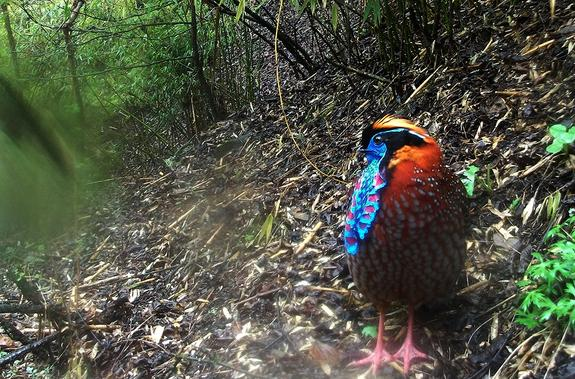 The striking colors on this male temminck's tragopan, a type of pheasant, help it to attract a mate.
