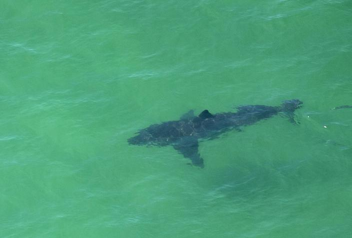 <p>Reasearchers find the great white shark population has increased off the coast of California </p> (AFP via Getty Images)