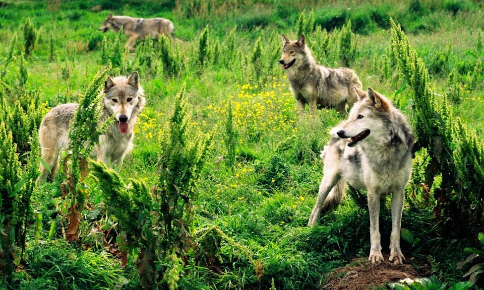 Eurasian grey wolves at a wildlife park in Scotland