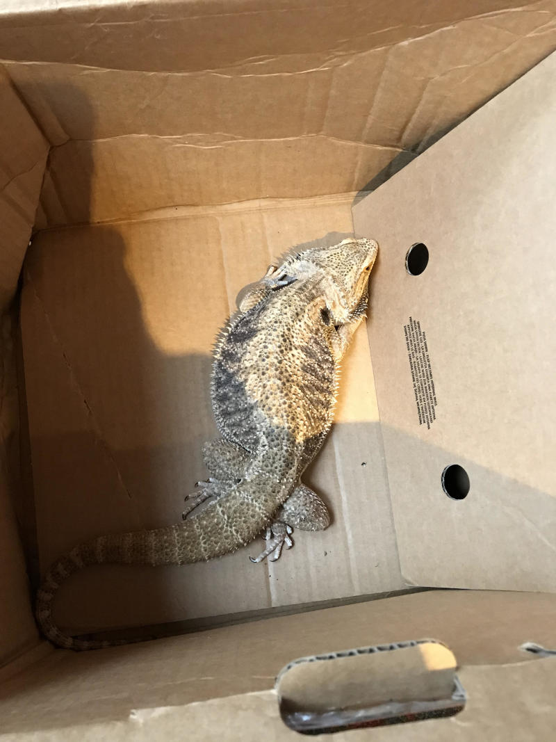 A bearded dragon which was found in a closed cardboard box in West Sussex.