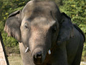 "An elephant named ""Kaavan,"" who waiting to be transported to a sanctuary in Cambodia, walks at the Maragzar Zoo in Islamabad, Pakistan, Friday, Nov. 27, 2020. Iconic singer and actress Cher was set to visit Pakistan on Friday to celebrate the departure of Kaavan, dubbed the ""world's loneliest elephant,"" who will soon leave a Pakistani zoo for better conditions after years of lobbying by animal rights groups and activists. (AP Photo/Anjum Naveed)"