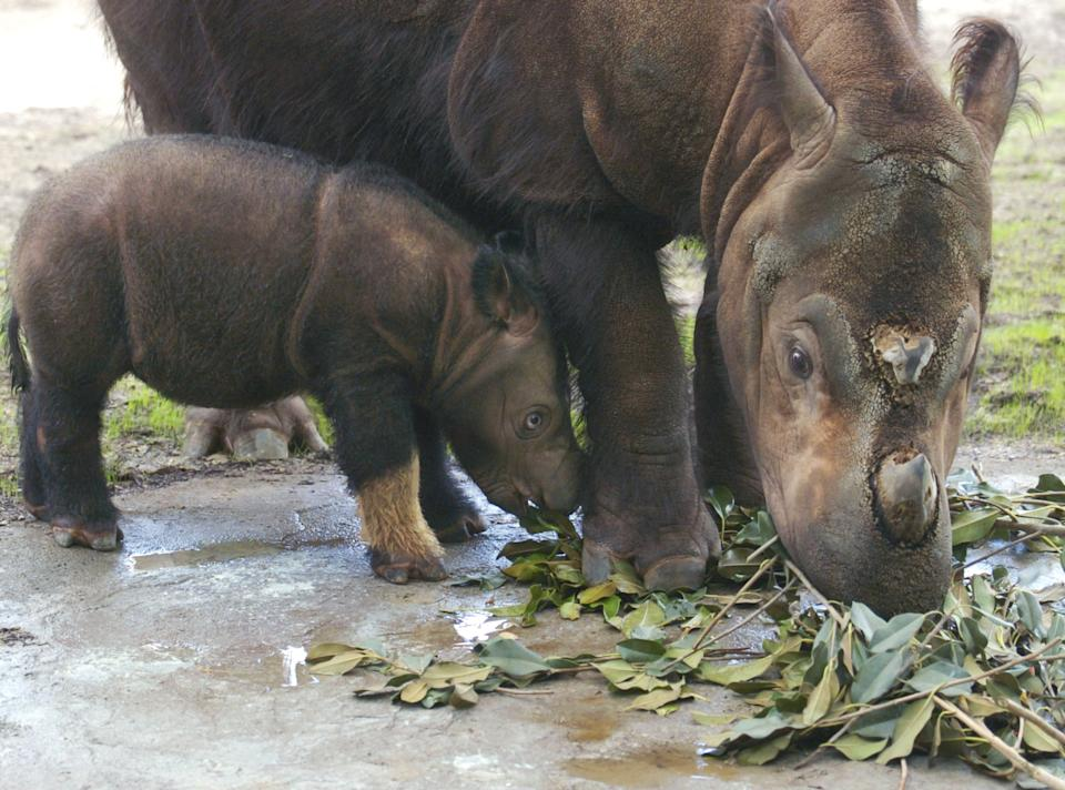 CINCINNATI, OH - AUGUST 19:  Emi, a Sumatran rhinoceros eats Ficus leaves with her three-week-old female calf at the Cincinnati Zoo and Botanical Garden August 19, 2004 in Cincinnati, Ohio. Emi made history by becoming the first Sumatran rhino to produce two calves in captivity.  (Photo by Mike Simons/Getty Images)