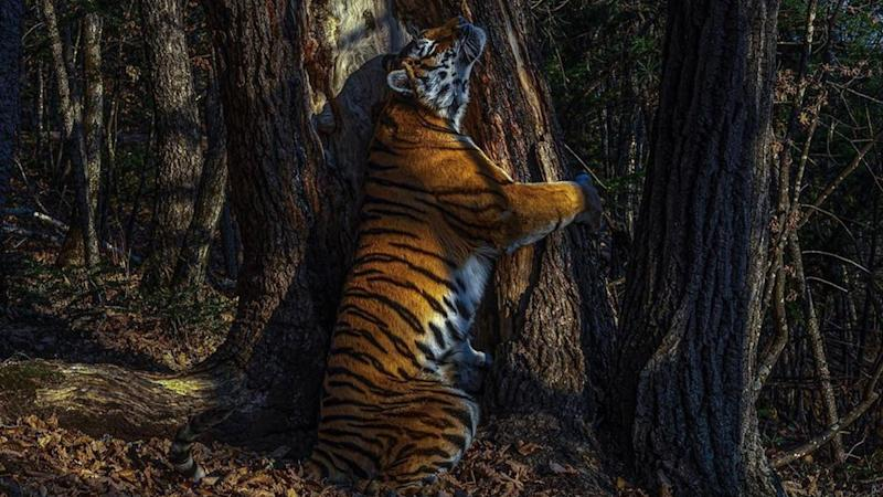 Sergey Gorshkov Named 2020 Wildlife Photographer Of The Year: 'The Embrace' Rare Photo of Siberian Tigress Hugging Tree Wins the Award (See Picture)