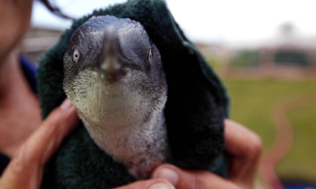 FILE - In this Friday, Oct. 14, 2011 file photo, a little blue penguin is dried by a rescue worker after it swam in a water pool during a cleaning session to get rid of fuel oil from its body at the wildlife facility in Tauranga, New Zealand. Forty-nine penguins rescued from an oil spill off New Zealand were set free Tuesday, Nov. 22, 2011, after being cleaned and nursed back to health by wildlife officials. The birds released Tuesday are among 343 little blue penguins that have been cleaned of oil since a cargo ship ran aground on a reef near Tauranga on Oct. 5 and spilled some 400 tons of fuel oil. (AP Photo/Natacha Pisarenko, File)