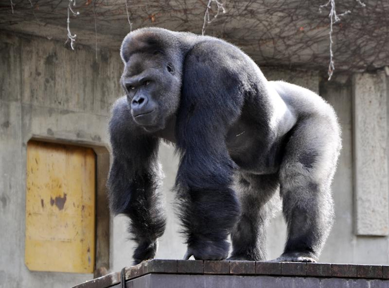 Giant male gorilla Shabani, weighing around 180kg, seen at the Higashiyama Zoo in Nagoya, central Japan's Aichi prefecture (AFP Photo/-)